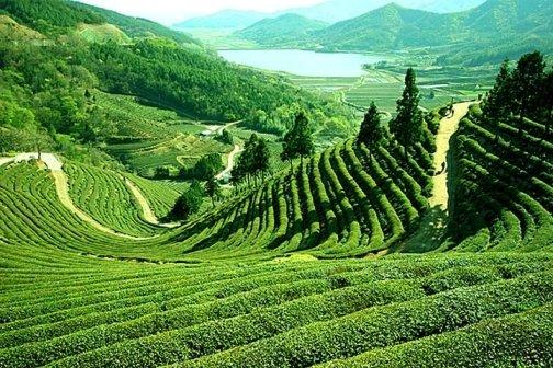 Растението чай